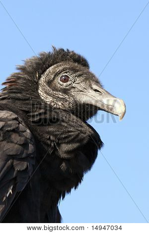Juvenile Black Vulture