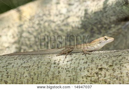 Male brown Anole