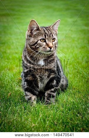 Young kitten sitting on the fresh grass and looking away. Striped cat. Green grass. Spring. Portrait.