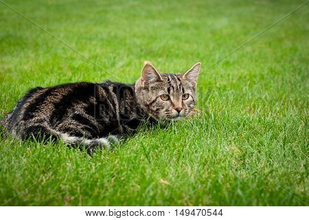 Striped kitten is hunting on fresh grass. Striped cat. spring. Green grass. Kitty.
