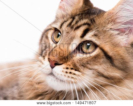 Portrait of domestic black tabby Maine Coon kitten - 5 months old. Close-up studio photo of striped kitty looking away. Tabby cat on white background.