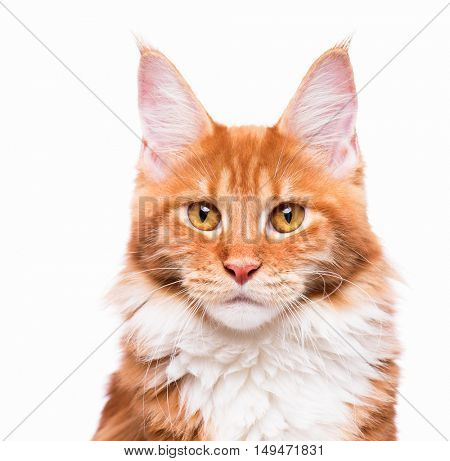 Portrait of domestic red  Maine Coon kitten - 8 months old. Close-up studio photo of orange striped kitty looking at camera. Cute young cat isolated on white background.