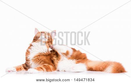 Portrait of domestic red  Maine Coon kitten - 8 months old. Cute young cat lying down and scratching ear. Adorable orange striped kitty isolated on white background.