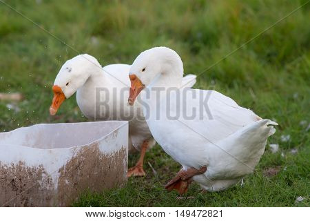 two white geese drinking water from the tank