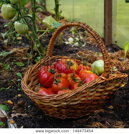 Collecting the first harvest of tomatoes in the greenhouse