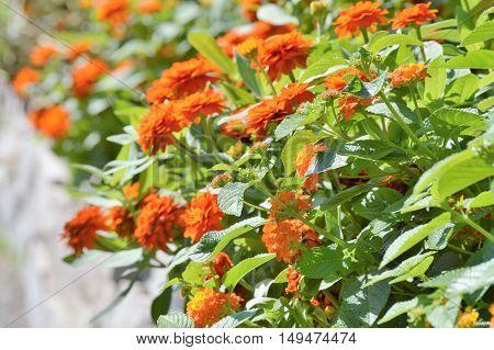 Zinnia flowers in the garden during summer