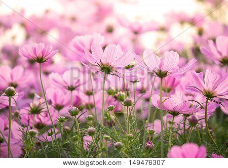 Pink cosmos flowers in the garden outdoor
