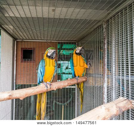 couple blue gold macaw bird in the cage