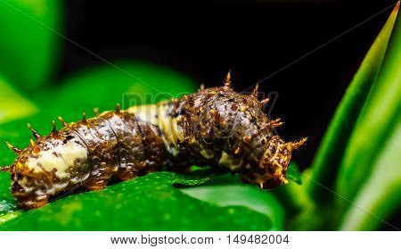 Macro close up Caterpillar. Brown worm is eating leaf