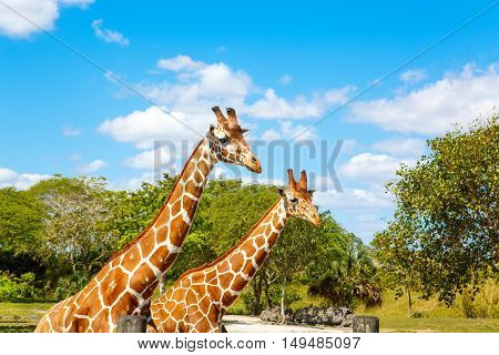 giraffes in the zoo safari park. Beautiful wildlife animals on sunny warm day.