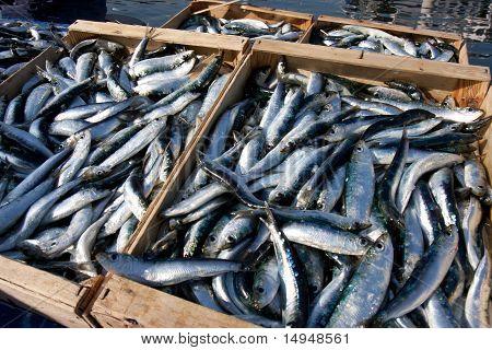 Crates of sardines