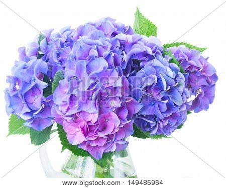 blue and violet hortensia fresh flowers and leaves in vase close up isolated on white background