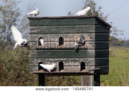 Dovecote and pigeons in love in the countryside