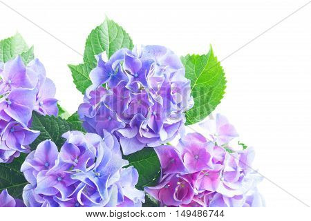 blue and violet fresh hortensia flowers with green leaves close up isolated on white background