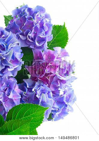 blue hortensia fresh flowers with fresh green leaves border isolated on white background