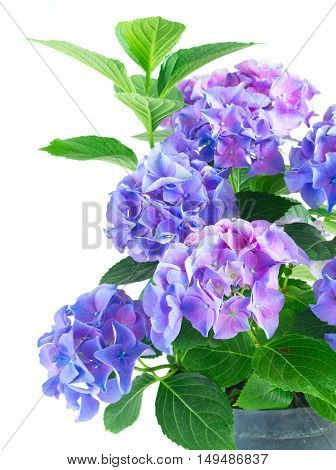 blue and violet fresh hortensia blooming flowers bush with green leaves close up isolated on white background