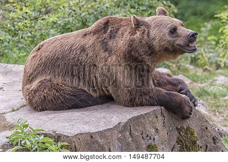 A brown grizzly bear lays on a large rock for a rest.