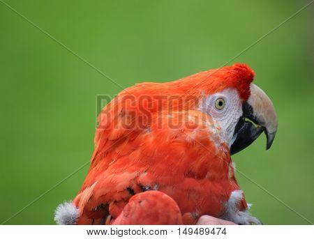 head shot close up red macaw parrot cute bird
