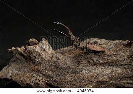 Stag Beetle, Dried Beetle,