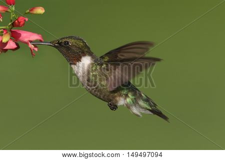 Male Ruby-throated Hummingbird (archilochus colubris) in flight with a flower and a green background