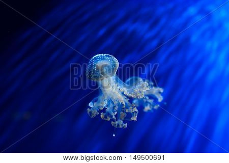 Jellyfish floating in aquarium with blue water