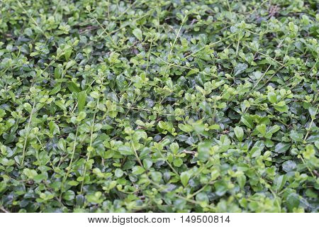close up of green background branches of siamese rough bush,selective focus