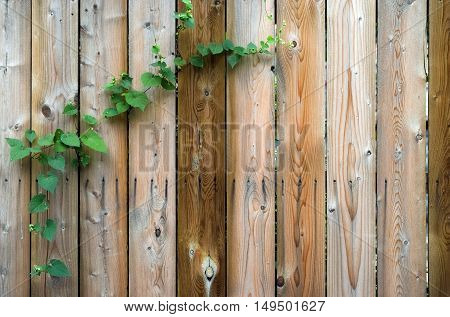 Wooden fence with leafy green vine background