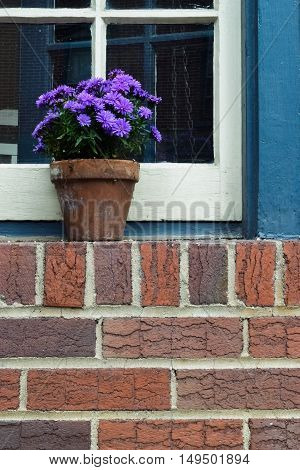 Potted purple chrysanthemums on a brick windowsill with blue and white window