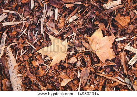 Bark mulch and fallen autumn maple leaves