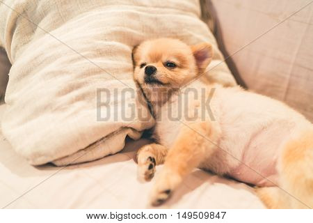 Cute pomeranian dog sleeping on pillow on bed with copy space