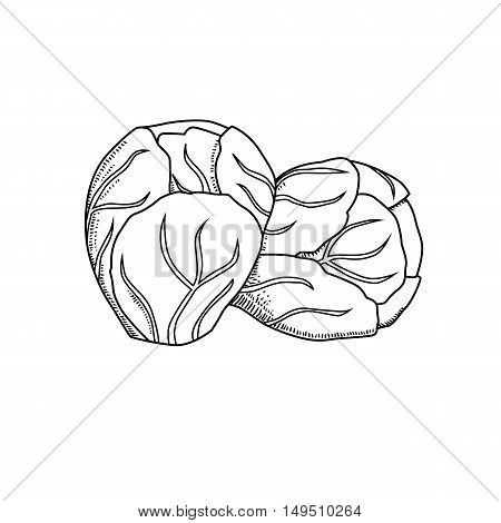 Vector hand drawn brussels sprouts cabbage. Organic food doodle vector illustrations isolated on white background.