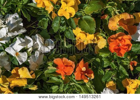 Bright white red yellow and orange marigold flowers among green leaves not a flowerbed in a bright sunny day.