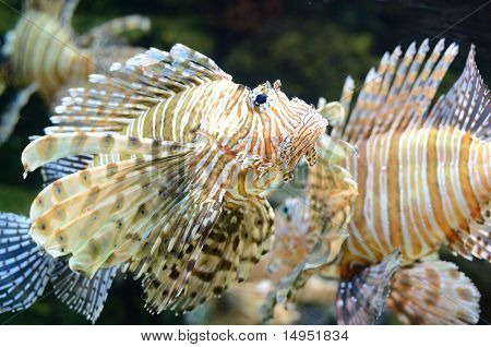 Roter Lionfish