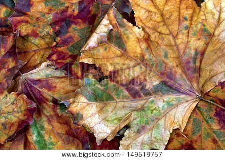 Autumn multicolor dry maple leafs. Nature background.