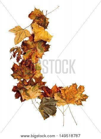 Autumn Dried Multicolor Maple-leafs