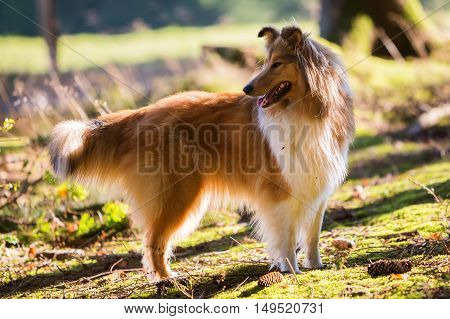 Collie Dog In The Forest