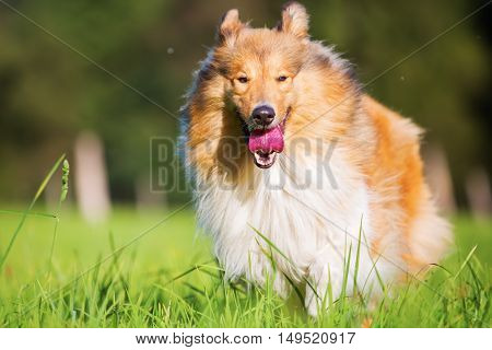 Collie Dog Running On The Meadow