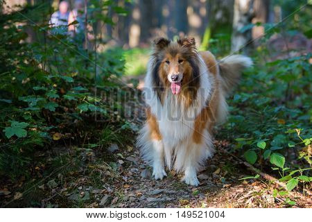 Walking With Collie Dog In The Forest
