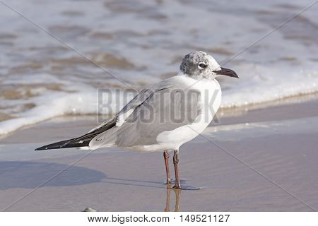 Immature Laughing Gull on the Shore of Boca Chica State Park on the Gulf Coast of Texas