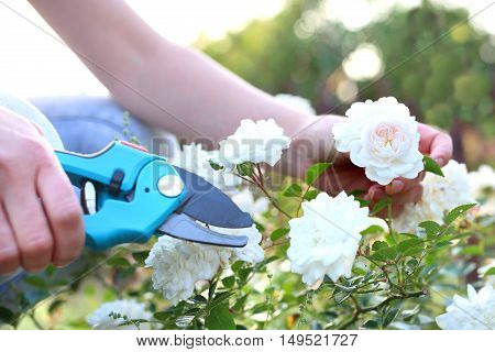 Cutting the rose canes. Care work in the garden.
