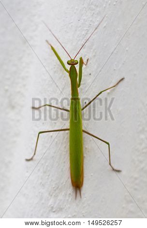 Insect Green Mantis Sitting On A Rock. Summer