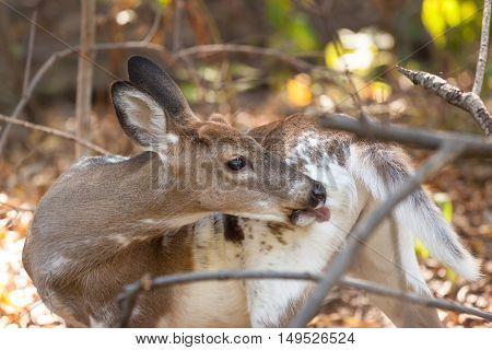 Piebald Whitetailed Buck