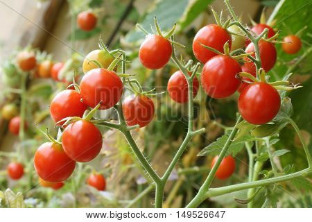 Fresh ripe cherry tomatoes in a greenhouse