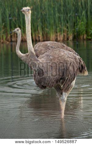 Ostrich (Struthio camelus). Wildlife animal.