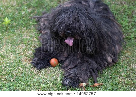 Big black dog puli pet with long corded coat dreadlocks lies on green grass on natural background