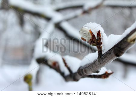 Snow-covered tree branch with a bud closeup