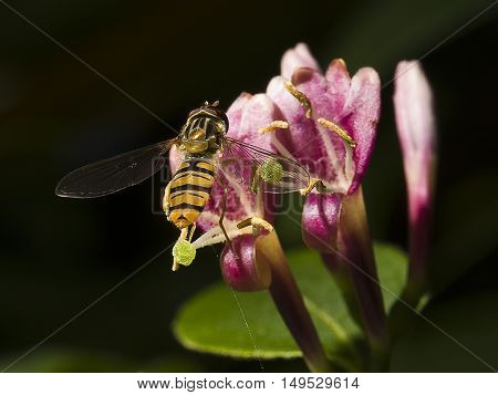 A hoverfly is pollinating a honeysuckle flower against a dark background
