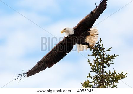 Bald Eagle taking Flight from Tree Top, Vancouver Island, Canada.