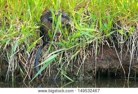 Muskrat Hiding in the Reeds, tall grass
