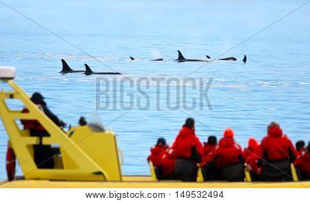 Pod of Orca Killer whale swimming, with whale watching boat in the foreground, Victoria, Canada